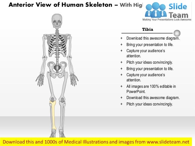 anterior view of the human skeleton medical images for power point, Skeleton