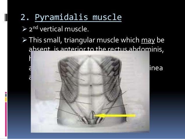 Anterolateral Abdominal Wall  Rectus Sheath   U0026 Hernia