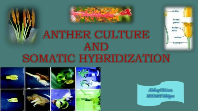 ANTHER CULTURE AND SOMATIC HYBRIDIZATION
