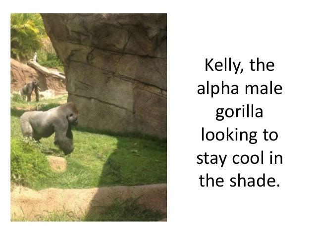 Gorilla zoo observation