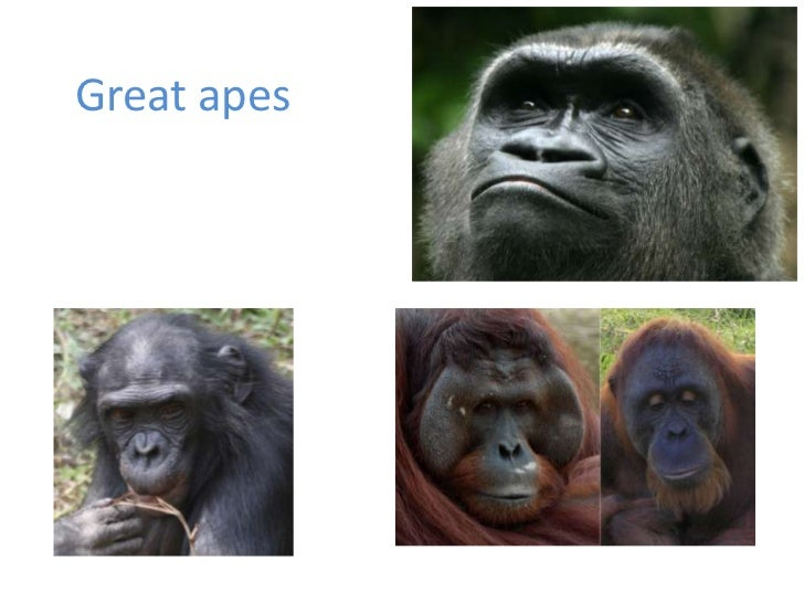 Great apes<br />