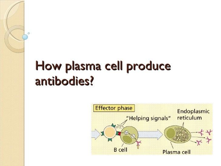 How plasma cell produce antibodies?