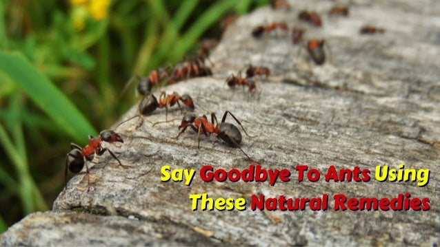 Say Goodbye To Ants Using These Natural Remedies Say Goodbye To Ants Using These Natural Remedies