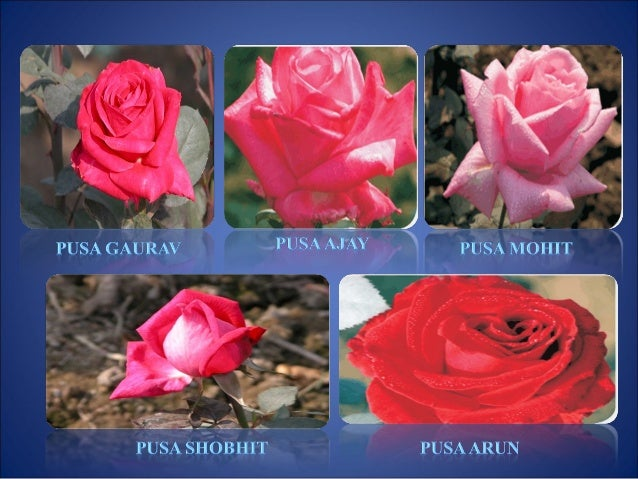 production technology and marketing of rose Cut flower production in india - narendra k dadlani 1 the commercial activity of production and marketing of floriculture products is also a source of gainful and quality employment to scores of people 2 production technology.