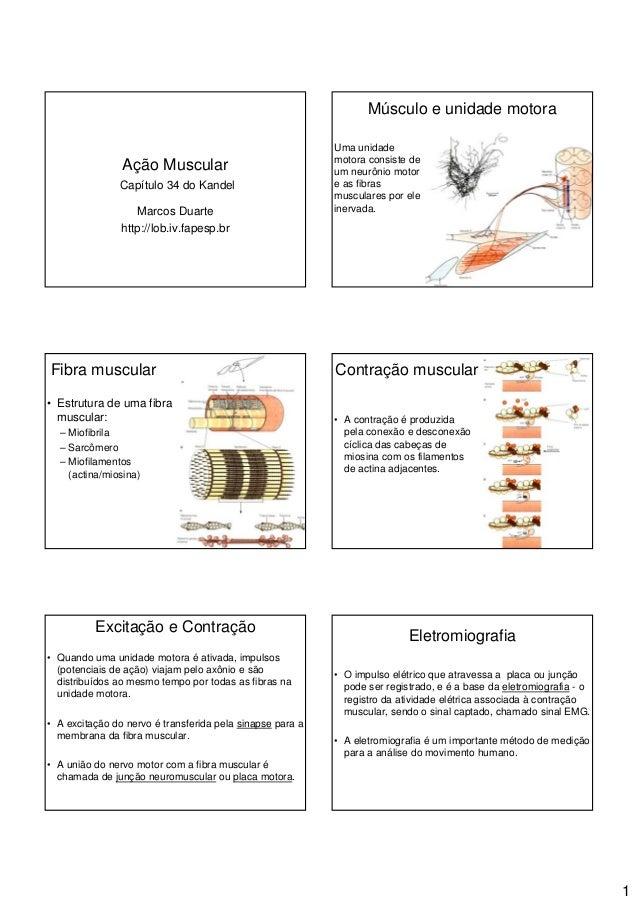 1Ação MuscularCapítulo 34 do KandelMarcos Duartehttp://lob.iv.fapesp.brMúsculo e unidade motoraUma unidademotora consiste ...
