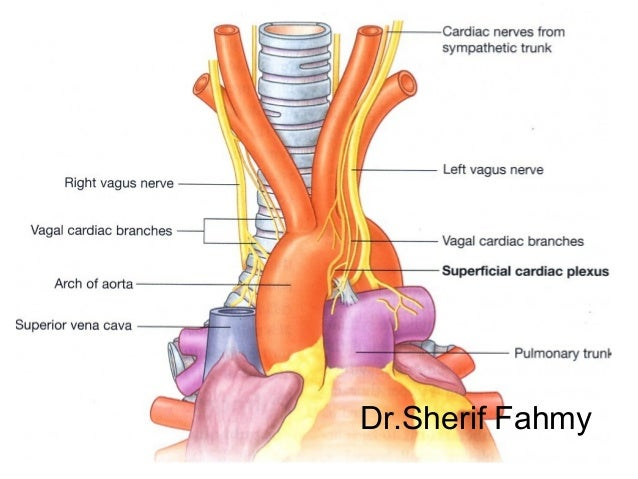 aorta (anatomy of the thorax), Human Body