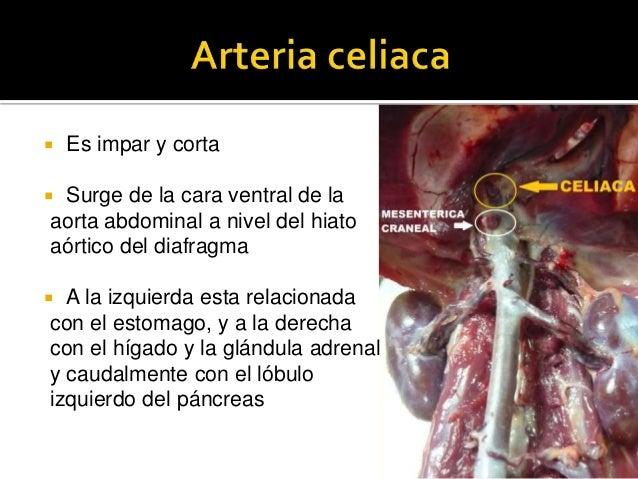 Aorta abdominal de canino