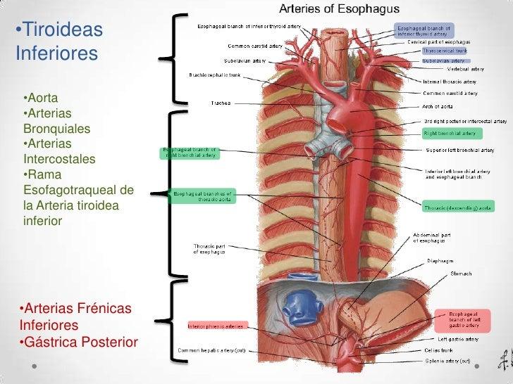 Excepcional Ramas De La Anatomía Aorta Regalo - Anatomía de Las ...