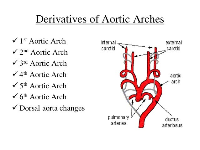 aortic arches, Sphenoid