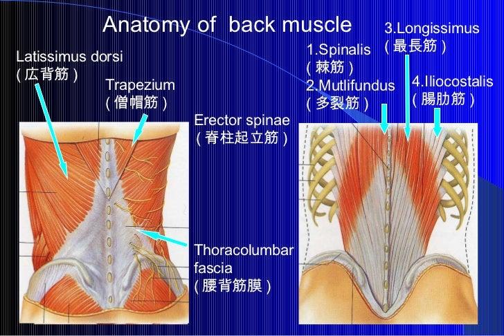 Anatomy of  back muscle Latissimus dorsi  ( 広背筋 ) Thoracolumbar  fascia ( 腰背筋膜 ) Trapezium  ( 僧帽筋 ) 1.Spinalis  ( 棘筋 ) 2.M...
