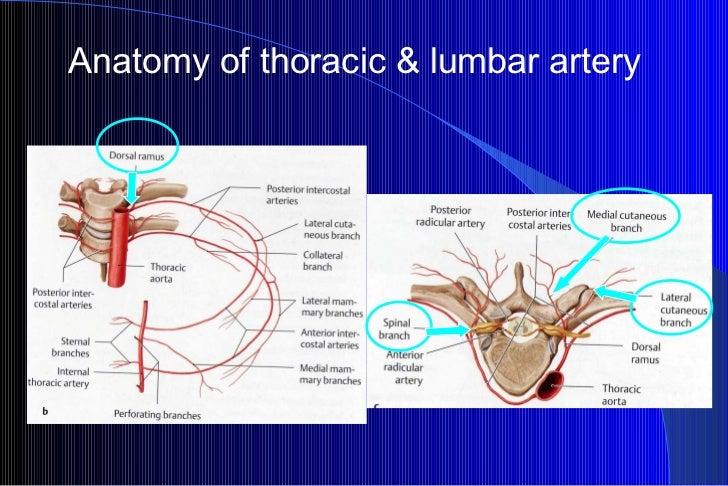 Anatomy of thoracic & lumbar artery