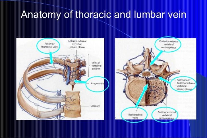 Anatomy of thoracic and lumbar vein
