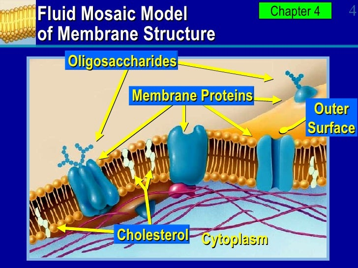 ap biology fluid mosaic model essay Ap biology ch 5 - the cell membrane and signal transduction originally prepared by kim b foglia fluid mosaic model 1972, j singer & g nicolson proposed fluid mosaic model ap biology membrane protein structure integral proteins.