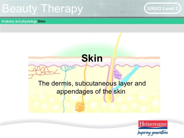 Anatomy and physiology Skin Beauty Therapy S/NVQ Level 2 Skin The dermis, subcutaneous layer and appendages of the skin