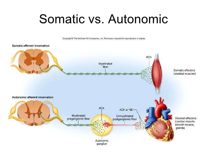 what is the difference between somatic and autonomic reflexes