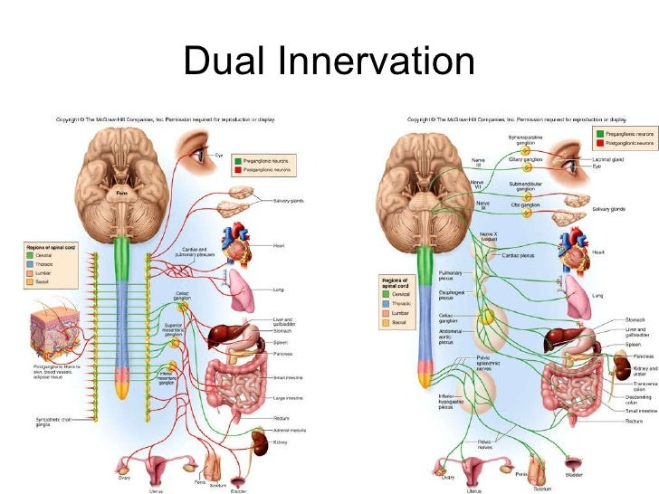 Innervation Definition Anatomy Image collections - human body anatomy