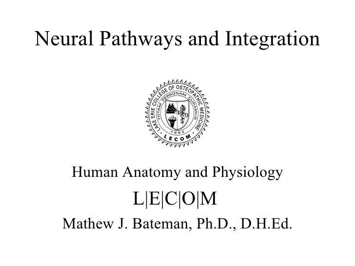 A&p 19 neural integration