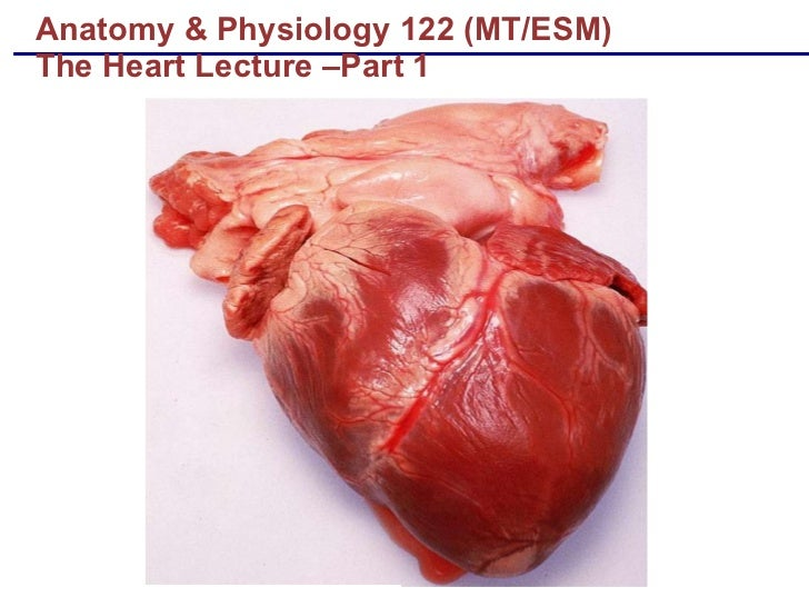Anatomy & Physiology 122 (MT/ESM) The Heart Lecture –Part 1