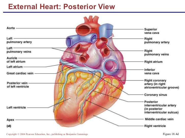 External Anatomy Of The Heart Image collections - human body anatomy