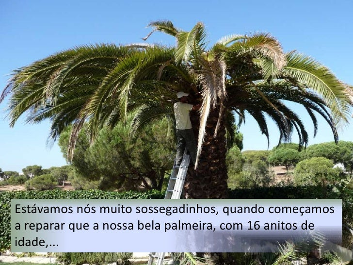 Estávamos nós muito sossegadinhos, quando começamos a reparar que a nossa bela palmeira, com 16 anitos de idade,... <br />