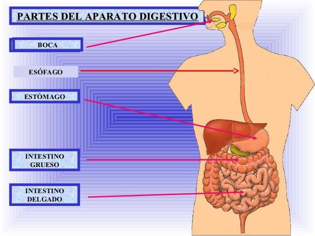 Aparato digestivo- 2º primaria