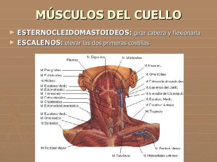 Lujoso Diagrama De Músculos Del Cuello Y De Los Hombros Galería ...