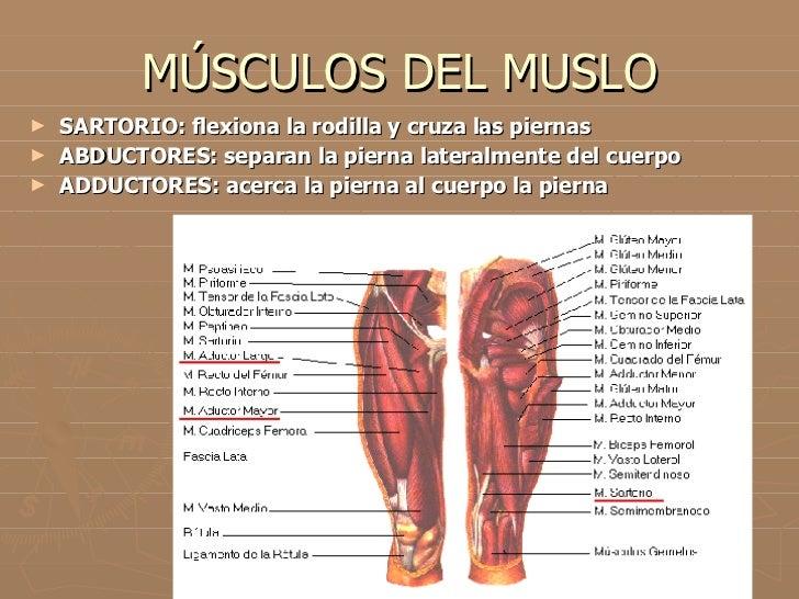 Vistoso Diagrama De Músculo Rodilla Festooning - Anatomía de Las ...