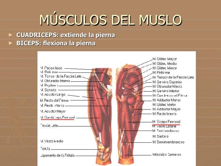 Magnífico Delante De Músculo De La Pantorrilla Molde - Anatomía de ...