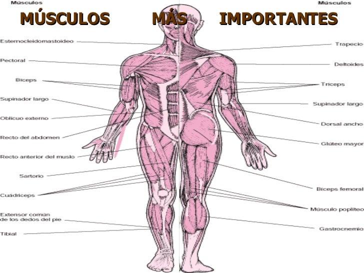Aparato Locomotor Sistema Muscular