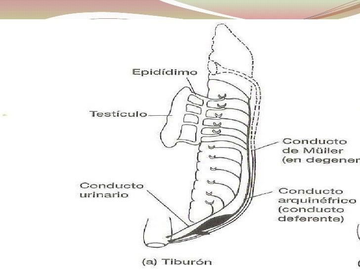 Lujoso Tiburón Diagrama Anatomía Interna Inspiración - Anatomía de ...