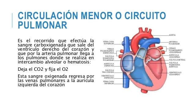 Circuito Pulmonar : Aparato cardiocirculatorio por alyssa montenegro