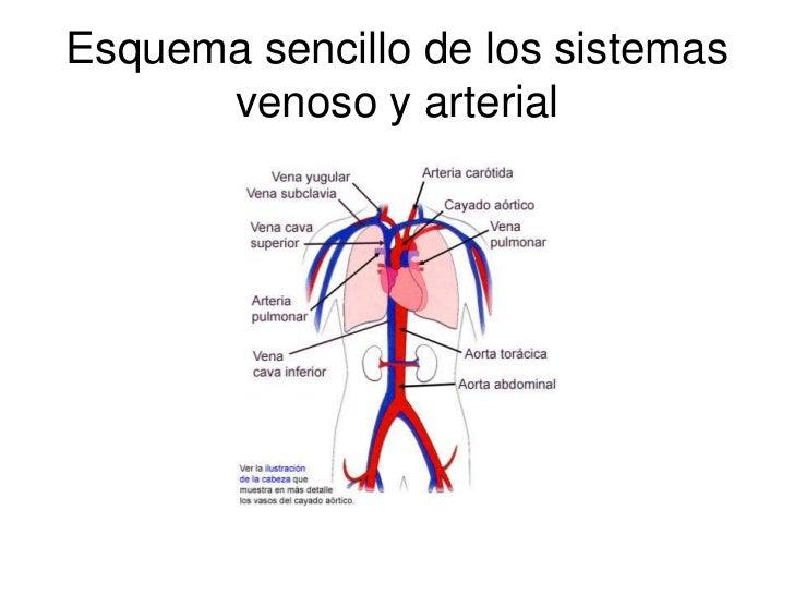 Lujo Sencillo Diagrama Del Sistema Circulatorio Viñeta - Anatomía de ...