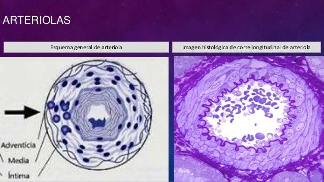 Histología Vascular (leeson)