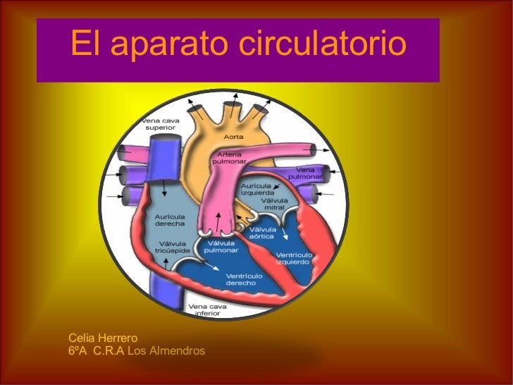 El aparato circulatorio Celia Herrero 6ºA  C.R.A Los Almendros