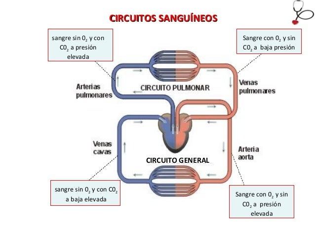 Circuito Pulmonar : Aparato circulatorio eat
