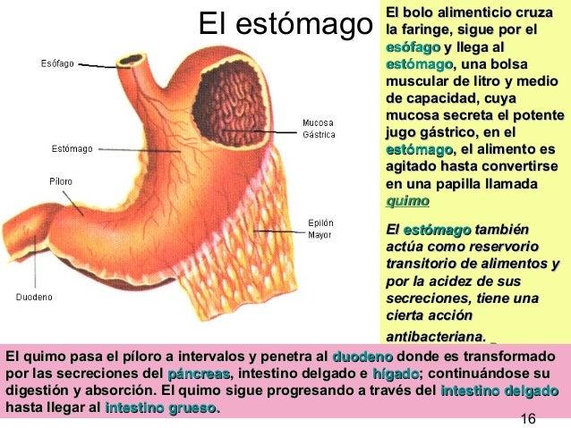 14 El estómago El bolo alimenticio cruzaEl bolo alimenticio cruza la faringe, sigue por ella faringe, sigue por el esófago...