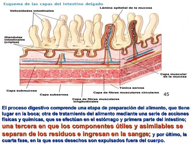 19 El proceso digestivo comprende una etapa de preparación del alimento, que tieneEl proceso digestivo comprende una etapa...