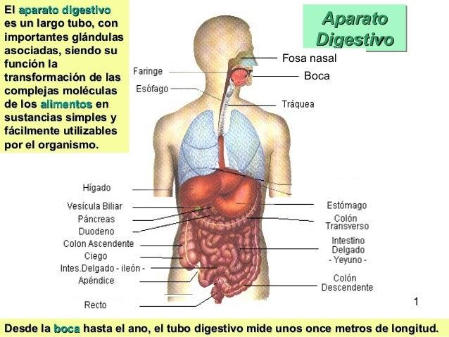 Aparato digestivo Slide 2