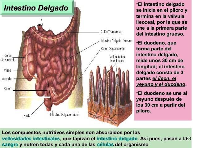 21 Intestino DelgadoIntestino DelgadoIntestino DelgadoIntestino Delgado Los compuestos nutritivos simples son absorbidos p...