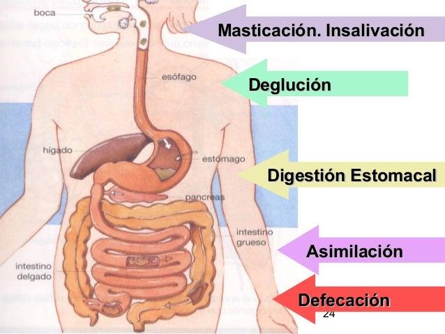 24 DegluciónDeglución Digestión EstomacalDigestión Estomacal AsimilaciónAsimilación Masticación. InsalivaciónMasticación. ...