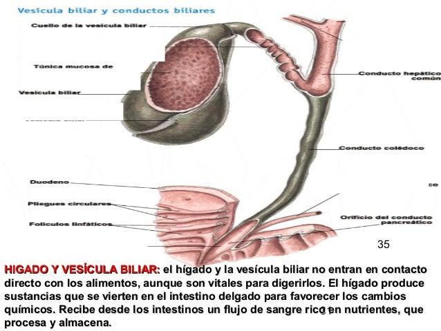 31 HIGADO Y VESÍCULA BILIAR:HIGADO Y VESÍCULA BILIAR: el hígado y la vesícula biliar no entran en contactoel hígado y la v...