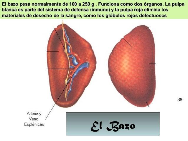 32 El BazoEl Bazo El bazo pesa normalmente de 100 a 250 g . Funciona como dos órganos. La pulpaEl bazo pesa normalmente de...