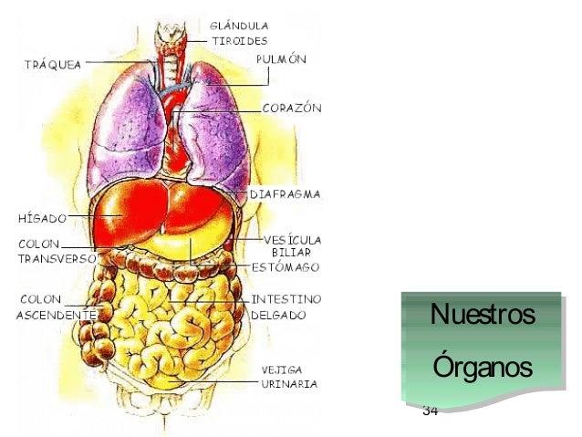 34 Nuestros Órganos Nuestros Órganos