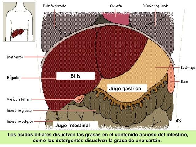 36 Los ácidos biliares disuelven las grasas en el contenido acuoso del intestino, como los detergentes disuelven la grasa ...