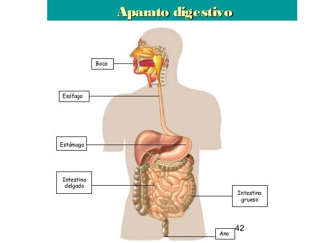 42 Boca Esófago Intestino delgado Estómago Intestino grueso Ano Aparato digestivoAparato digestivo