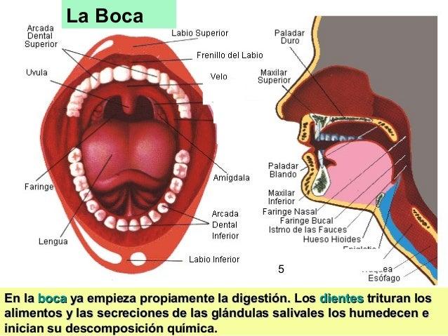 5 La Boca En laEn la bocaboca ya empieza propiamente la digestión. Losya empieza propiamente la digestión. Los dientesdien...