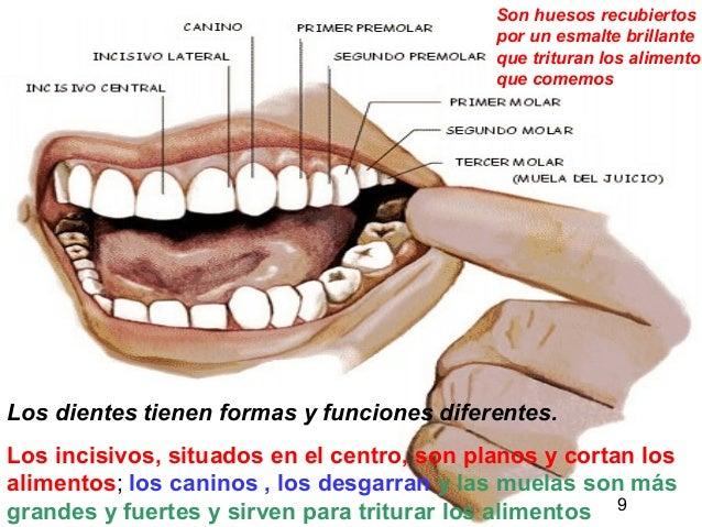 9 Los dientes tienen formas y funciones diferentes. Los incisivos, situados en el centro, son planos y cortan los alimento...