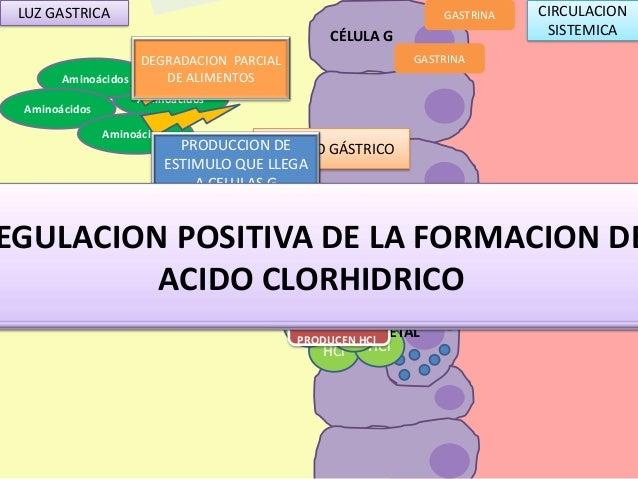 Aparato digestivo acido clorhidrico - formacion, regulacion e inhib…