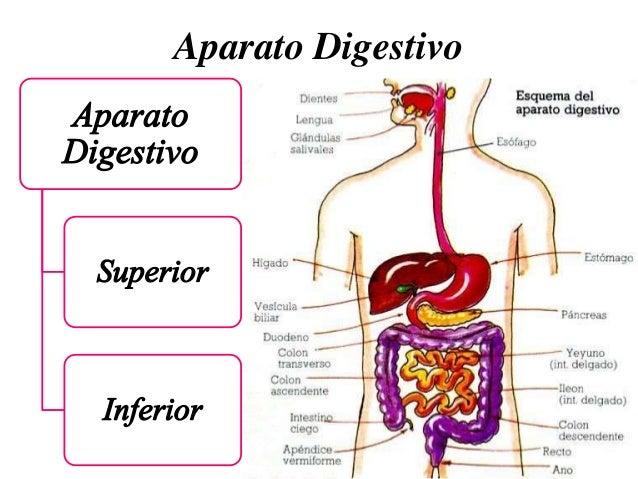 ANATOMIA APARATO DIGESTIVO EBOOK DOWNLOAD