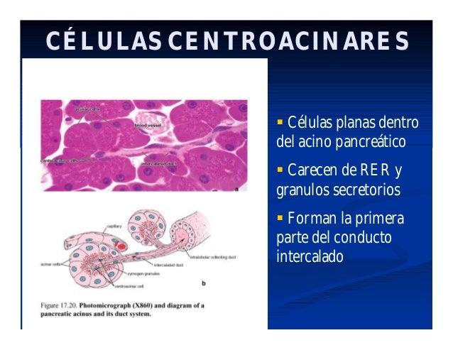 Histología de Aparato digestivo: Glándulas